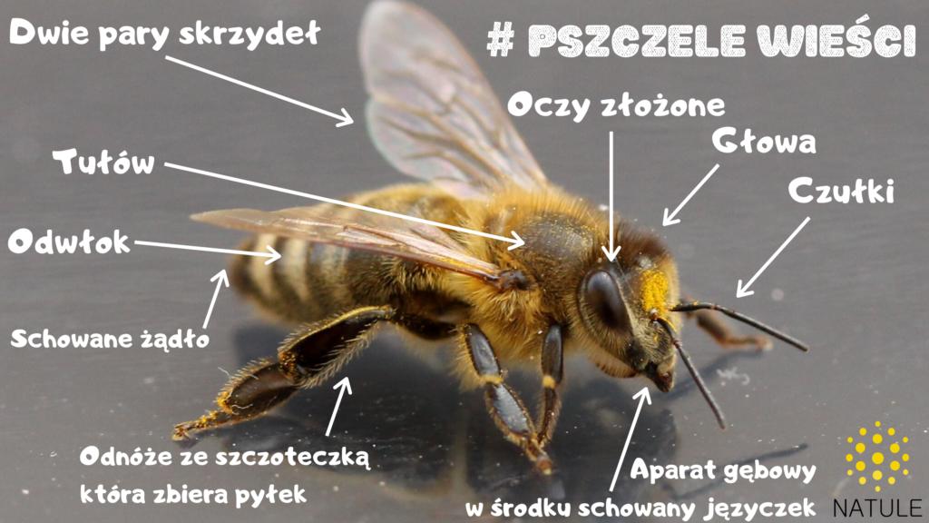 Morfologia pszczoły miodnej